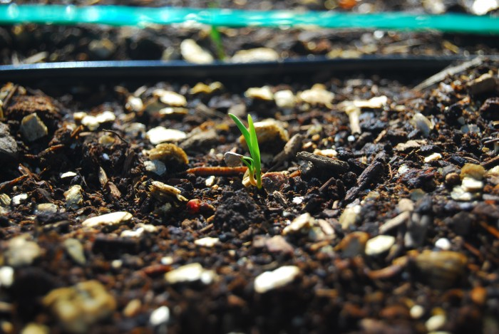 Square Foot Gardening shoots emerge